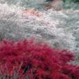 小原村 四季桜&紅葉